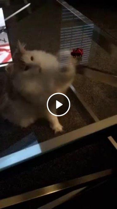 Gatinho tentando pegar um brinquedo