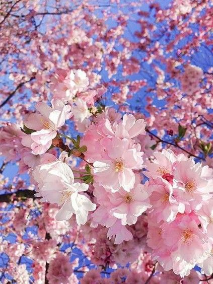Por Mp Blossom Trees Pretty Flowers Cherry Blossom