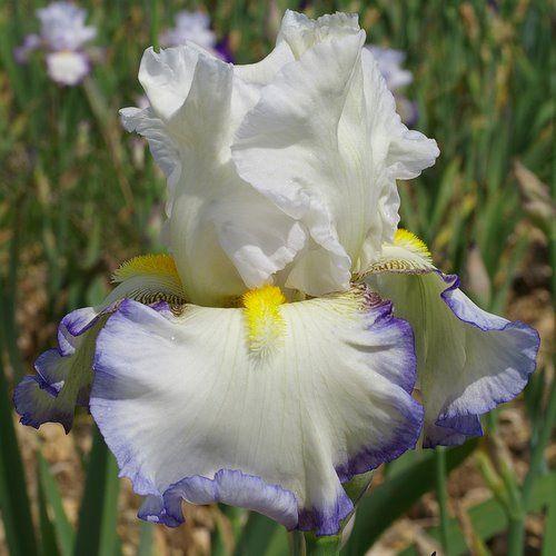 TB Iris 'Bord de Mer' (Cayeux, 2010)
