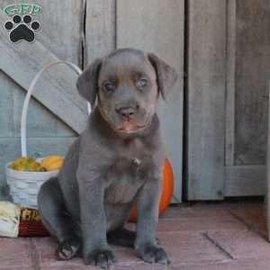 Cane Corso Puppies For Sale Cane Corso Dog Breed Info Cane Corso Puppies Cane Corso Puppies