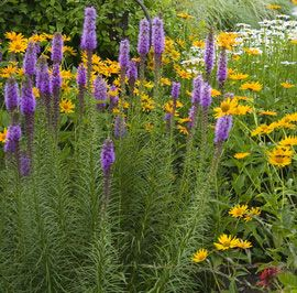 Perennial flowers for a stunning design gardens each for Spiky ornamental grass