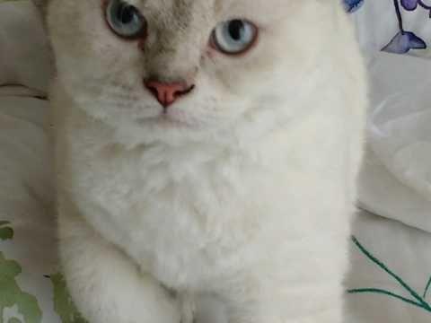 Beautiful Selkirk Rex Kitten Cats For Sale Selkirk Rex Kittens