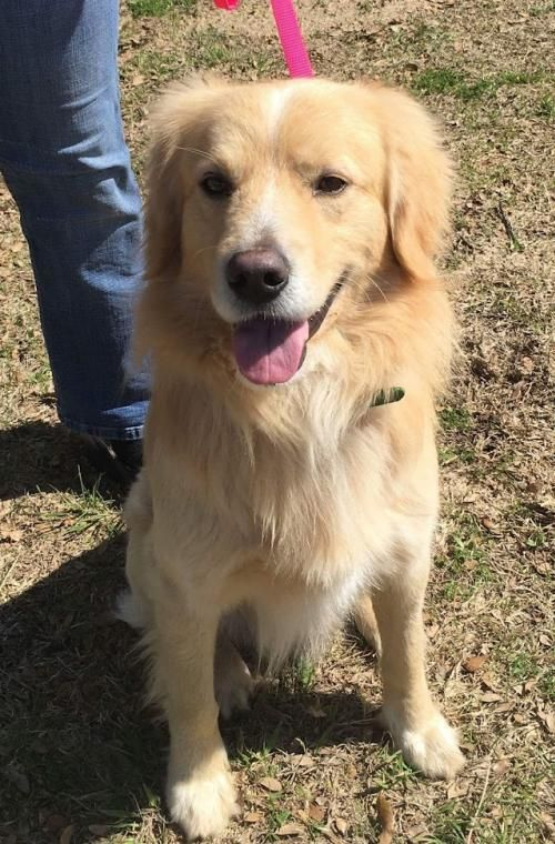 Adopt Sheldon 0667 On Golden Retriever Rescue Dogs Pet Adoption