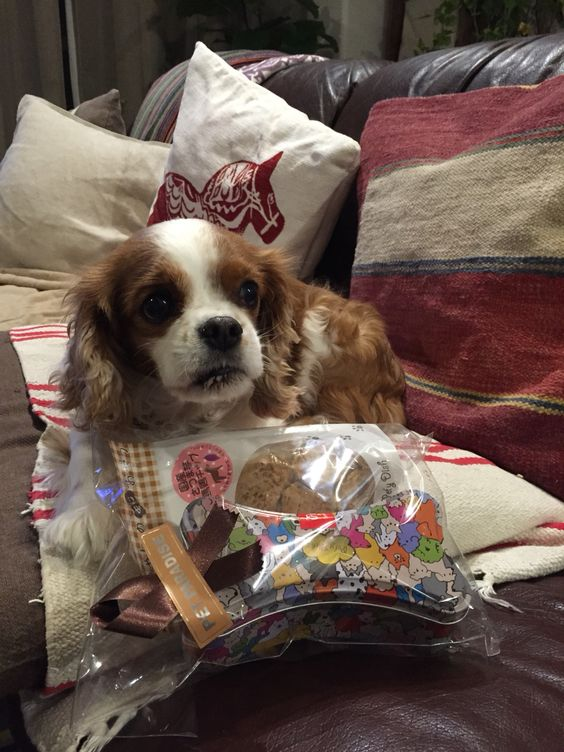 happy 8th birthday, Bambina!!  Cavalier King Charles Spaniel