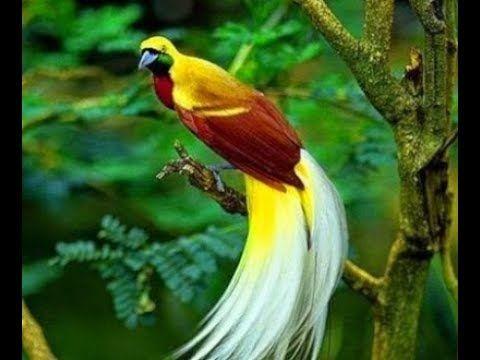 Kicau Master Burung Cendrawasih Cendrawasih Birdofparadise Papua Pecintaburung Youtube Gambar Burung Burung Habitat