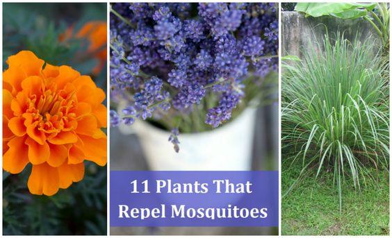 11 plants that repel mosquitoes garden pinterest for What plants naturally repel mosquitoes