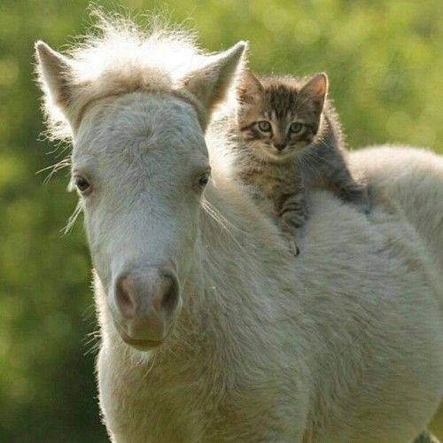 Just saw that Ive gotten 30 likes on one of my pics, thats the most likes I have ever gotten on a picture! The pic was on a horse and a cat, so to celebrate - heres another one!!! 3 #horse #foal #cat #kitten #horses #cute #adorable #sweet #love