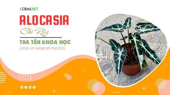 Tra cứu tên khoa học của các loài cây thuộc chi Alocasia (Chi Ráy) bằng hình ảnh