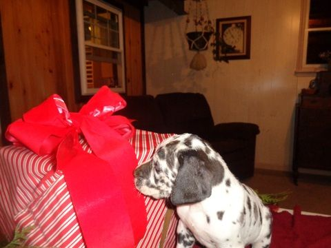 Litter Of 5 Great Dane Puppies For Sale In Millersburg Pa Adn