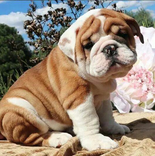 The Loyal Bulldog Dog And Kids Bulldogslovers Bulldogrescue