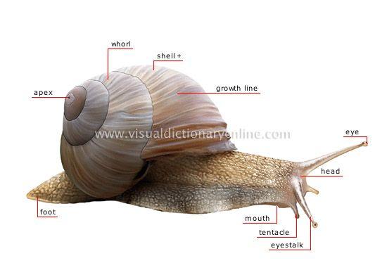 Animal Kingdom Mollusks Snail Morphology Of A Snail Image Visual Dictionary Online Snail Pet Snails Animals