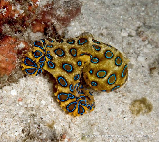 Blue-ringed Octopus its really small about 2 inches long with arms extended #oceananimals #iboatsdotcom #beautiful