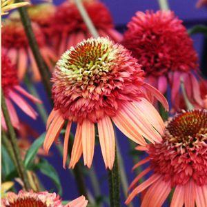 Echinacea 'Irresistible' PP20,756  Photo Courtesy of Walters Gardens Inc.