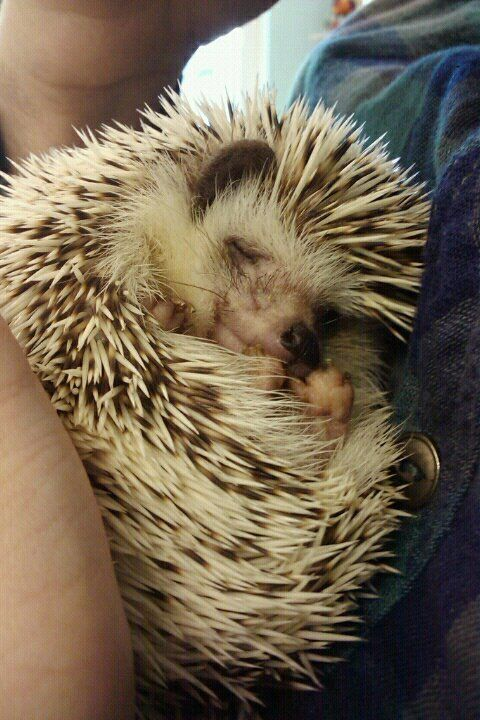 hedgehog-s:    My little boy, Milo, after waking up from anesthesia.  http://www.elisabethash.tumblr.com:
