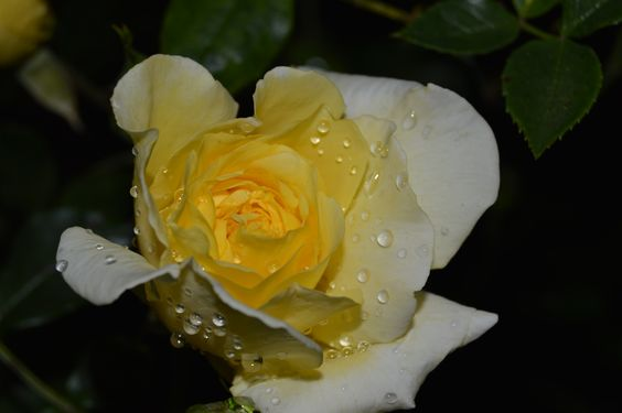Yellow Rose #1