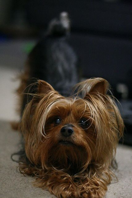 Dog Secrets The Fastest Way To Your Dream Yorkshire Terrier Yorkshire Terrier Yorkshiret Yorkshire Terrier Yorkshire Terrier Dog Yorkshire Terrier Puppies
