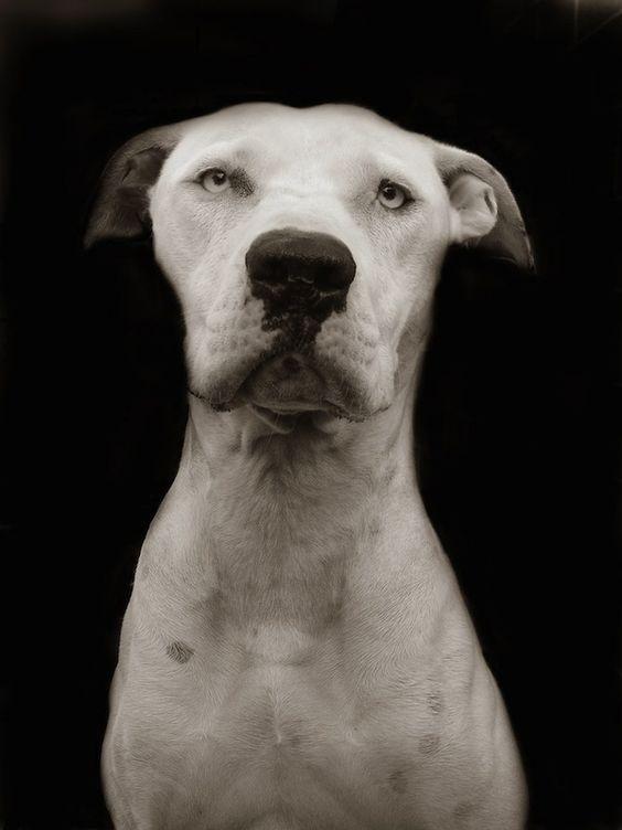 """os belos retratos a preto e branco tiradas pela fotógrafa Traer Scott, retratam as emoções e as personalidades dos cães do abrigo, ela passou um tempo com tempo de voluntariado. Os retratos foram compilados em um livro intitulado """"cães do abrigo"""", com uma porcentagem dos rendimentos doados para o ASPCA."""