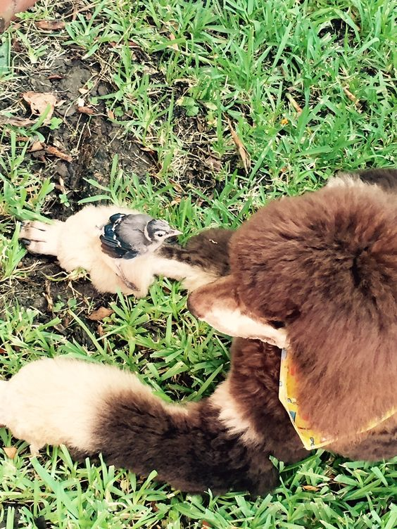 """Look at my sweet 6 month old baby """"Dazzle"""" letting a little Blue Jay climb on his leg. They are both looking @ each other in wonder. So sweet and a testimony to the nature of this dog...unless you have a highly prey driven hunter (which he is not)"""