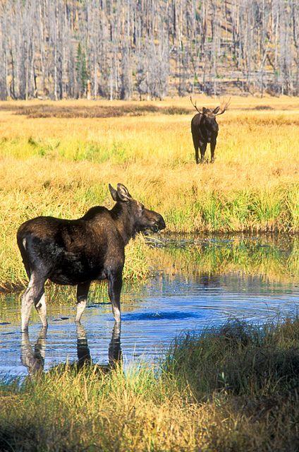 moose, Obsidian Creek, Yellowstone National Park, Wyoming.  Photo: Jerry Mercier via Flickr
