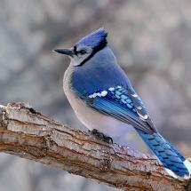 iconic Canadian nature ~ Blue Jay