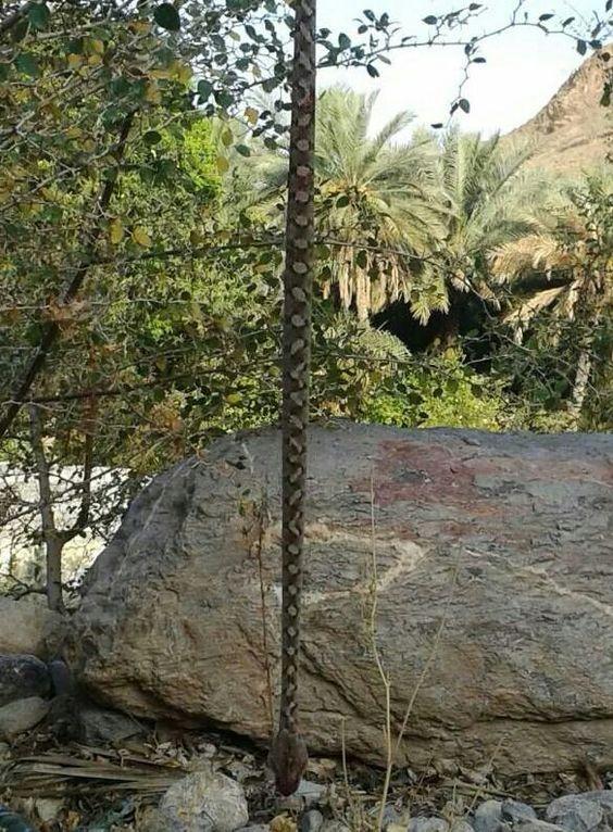 What a snake ! Oman
