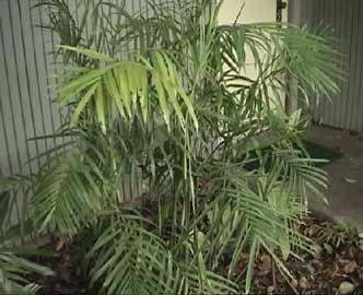 Palma bambú, Palmera bambú, Palmera Seifriz de bambú