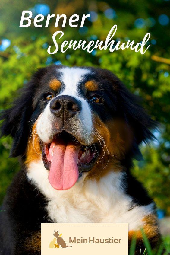 Berner Sennenhund Steckbrief In 2020 Berner Sennenhund Hunde Hunderassen