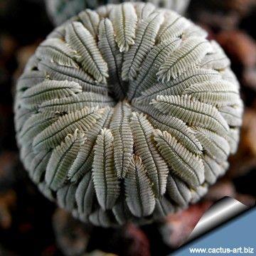 Mammillaria aselliformis-8-:
