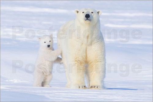 Steve Kazlowski - USA, Alaska, North Slope, 1002 area of the Arctic National Wildlife Refuge. Polar bear, Ursus mariti