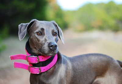 Texas Blue Lacy!