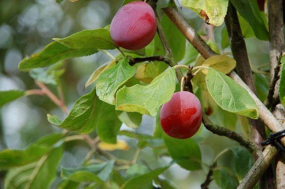 El #ciruelo: un #árbol resistente que podemos poner en el jardín. El árbol de las ciruelas aprender cómo cultivarlo, regarlo y sembrarlo.