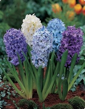 Hyacinth is the common name for about 30 perennial flowering plants. These spring blooming bulbs come in a wide variety of bloom colors. They grow in sun to light shade and are often planted with daffodils and tulips in the spring garden. Zones 4-9:
