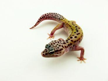 MD-Terraristik - 0.1 Leopardgecko, Mack Snow Hypo