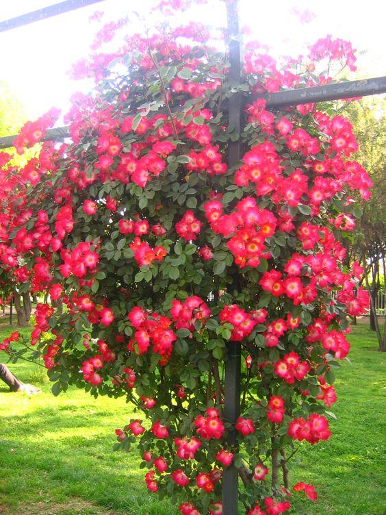 rosas trepadoras jardines pinterest