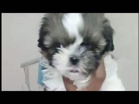 Extraordinary Quality Shitzu Female Puppy Me 9742920889 In Bangalor Youtube In 2020 Lab Dogs Puppies Shitzu