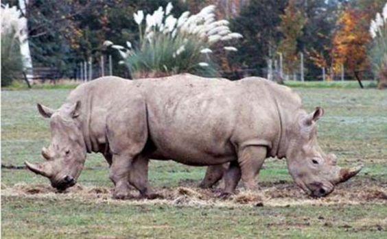 Questi rinoceronti non sono gemelli siamesi e nemmeno vittima di Photoshop, semplice illusione ottica