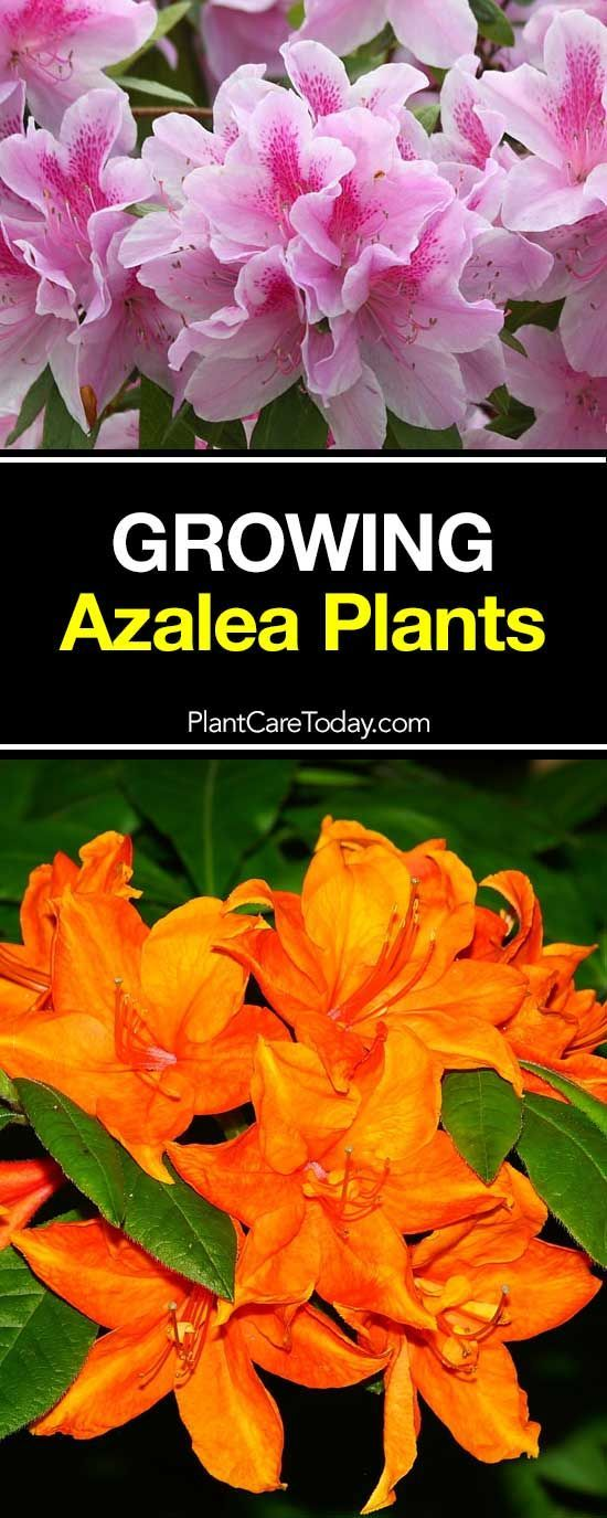Growing The Azalea Plant How To Care For The Azalea Flower Azalea Flower Azaleas Landscaping Plants