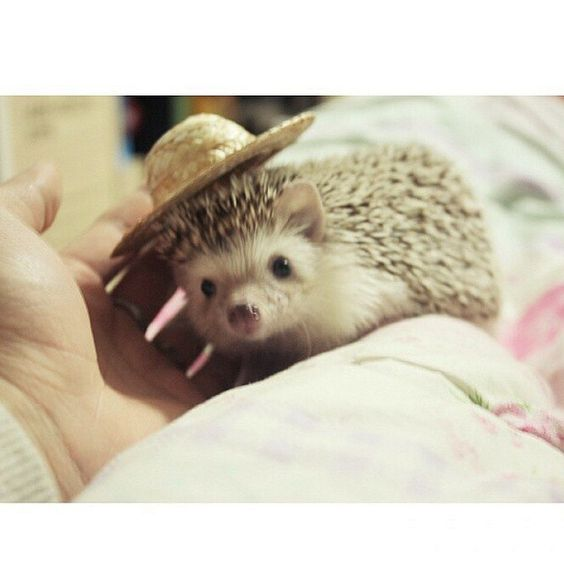 Model: Doppi  Follow this hedgie @doppeun ❤️ #hedgie #hedgehog #hedgehogs #hedgehogswearinghats #cute #pet #pets