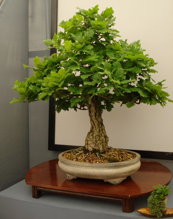 oak bonsai trees - Sök på Google