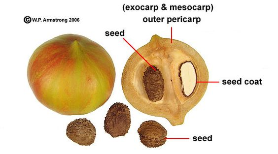 Fruit and seeds of the tung oil tree (Aleurites fordii). The oil-rich seeds are the source of tung oil used on fine furniture.