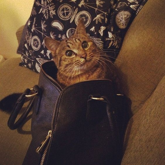 「bag in cat♡  #キジトラ #cat」