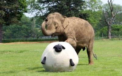 Elephant Donna plays football with a big ball shaped like a sheep at ZSL Whipsnade Zoo near Dunstable, Bedfordshire.  Picture: Steve Parsons/PA