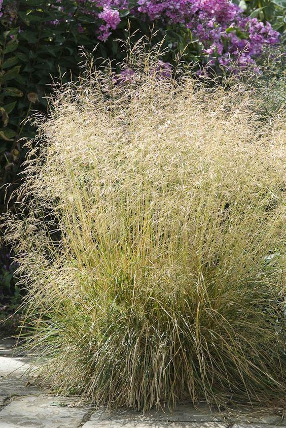 Deschampsia caespitosa goldtau a useful evergreen grass for Shade decorative grass