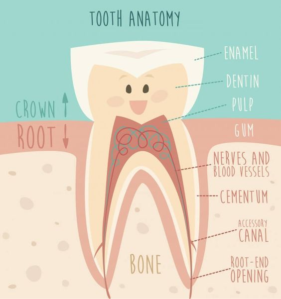 tooth anatomy: