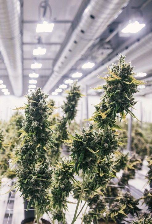 Конопля выращивание дома гидропоник чем отличается марихуана от гашиша и конопли
