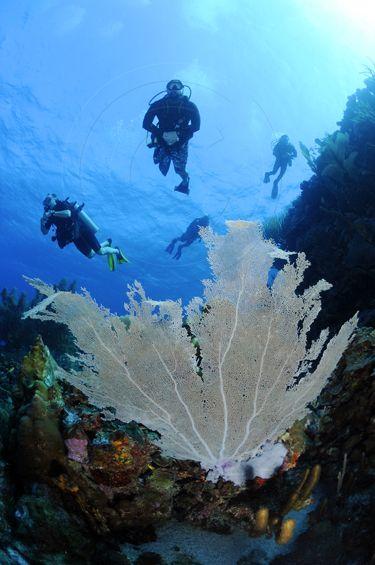 Common sea fan, Gorgonia Ventalina, diving Curacao...Scuba should be awesome!