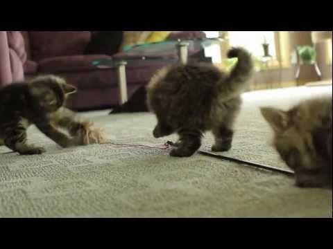 Youtube Siberian Kittens Siberian Kittens For Sale Kitten For Sale