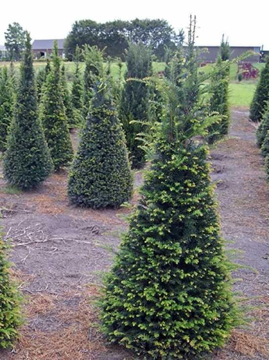 Taxus Baccata Kegel Heimische Eibe Kegel Gunstig Kaufen Eibe Pflanzen Gartenpflanzen