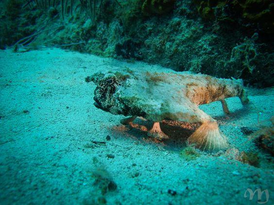 Poisson Chauve-Souris #Cuba #Plongée #Caraïbes