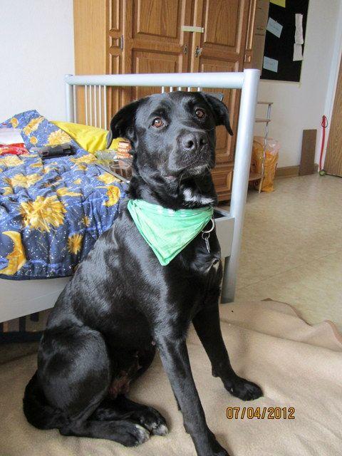 Luna (Berner Sennenhund, Labrador) Mischling Mix